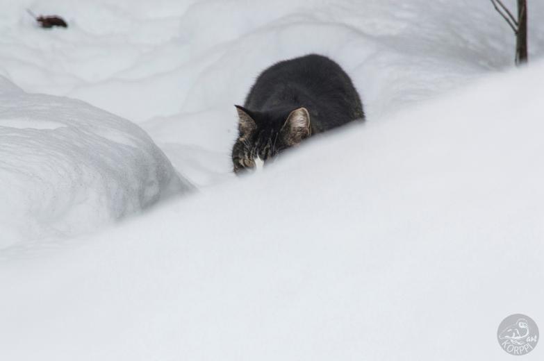 cat_inSnow_0042p